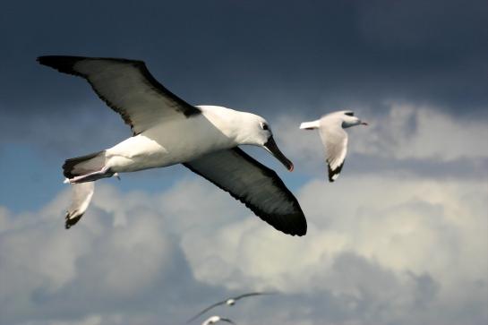 Indian Yellow-nosed Albatross in flight - Inger Vandyke