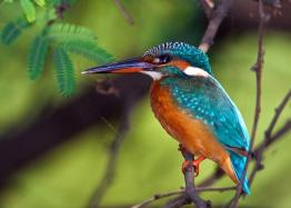 Alcedo atthi: Keoladeo Ghana Bird Sanctuary. Bharatpur