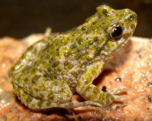 pelodytes-ibericus