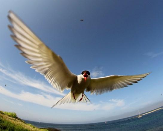 arctic-tern-blog-size